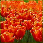 Поле оранжевых тюльпанов картинка смайлик